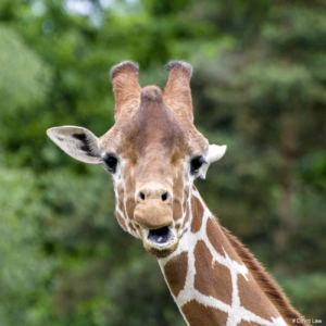 Girafe 1 copie