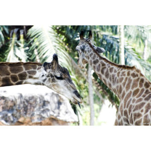 Girafes 2 copie 1