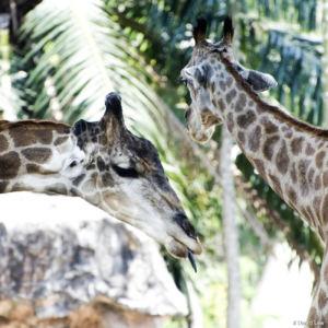 Girafes 2 copie