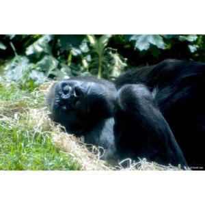 Gorille copie 1