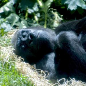 Gorille copie