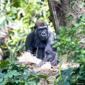Gorille nature 1 Square 1 copie