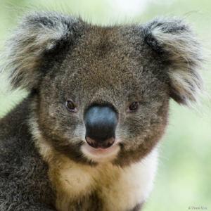 Koala 2 copie