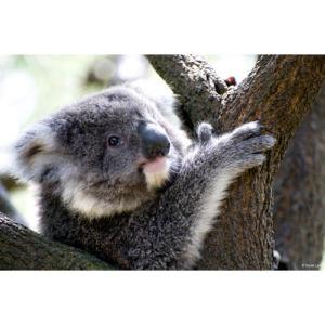 Koala copie 1