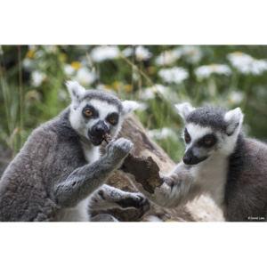 Lemuriens copie