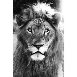 Lion 8 1 copie