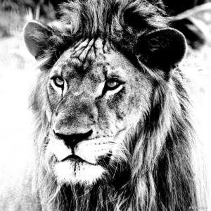 Lion NB copie