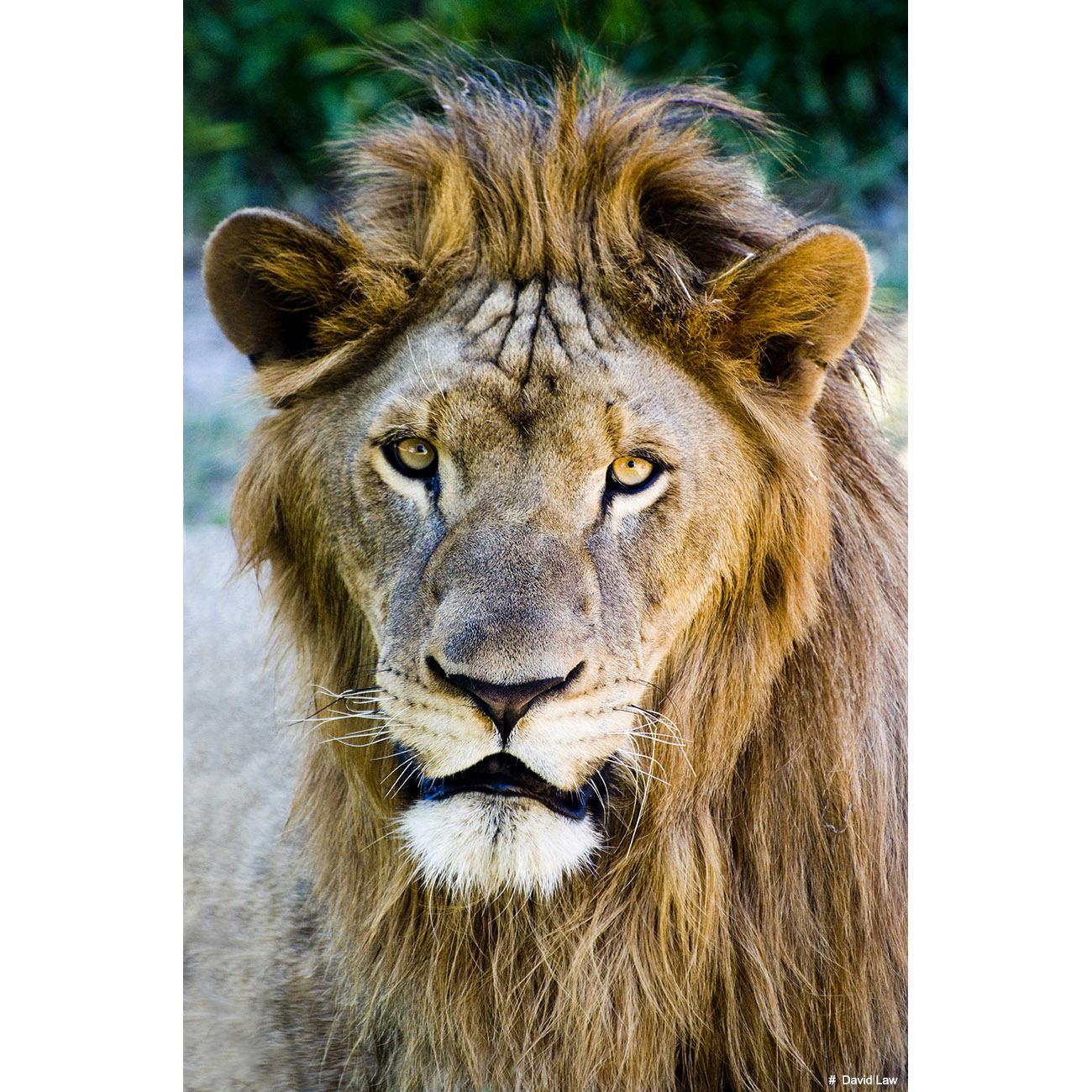 Lion copie