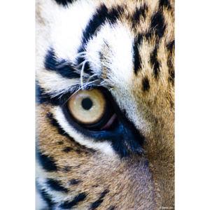 Oeil du Tigre copie