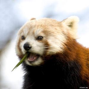 Panda Roux copie
