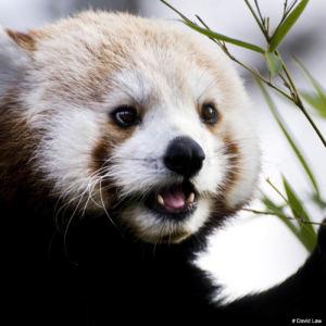 Panda copie