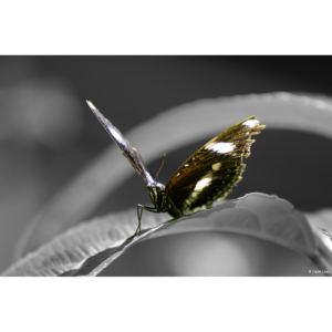 Papillon 1 copie 1