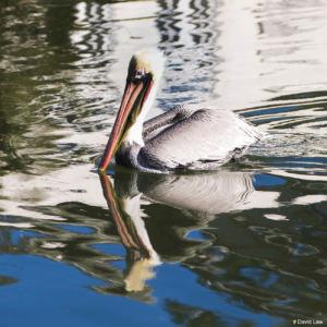 Pelican 2 copie