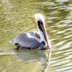 Pelican 3 copie
