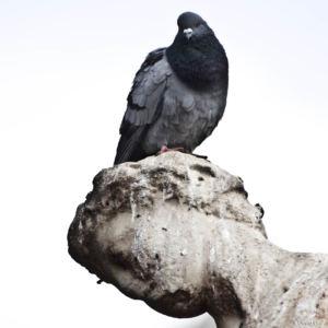 Pigeon copie