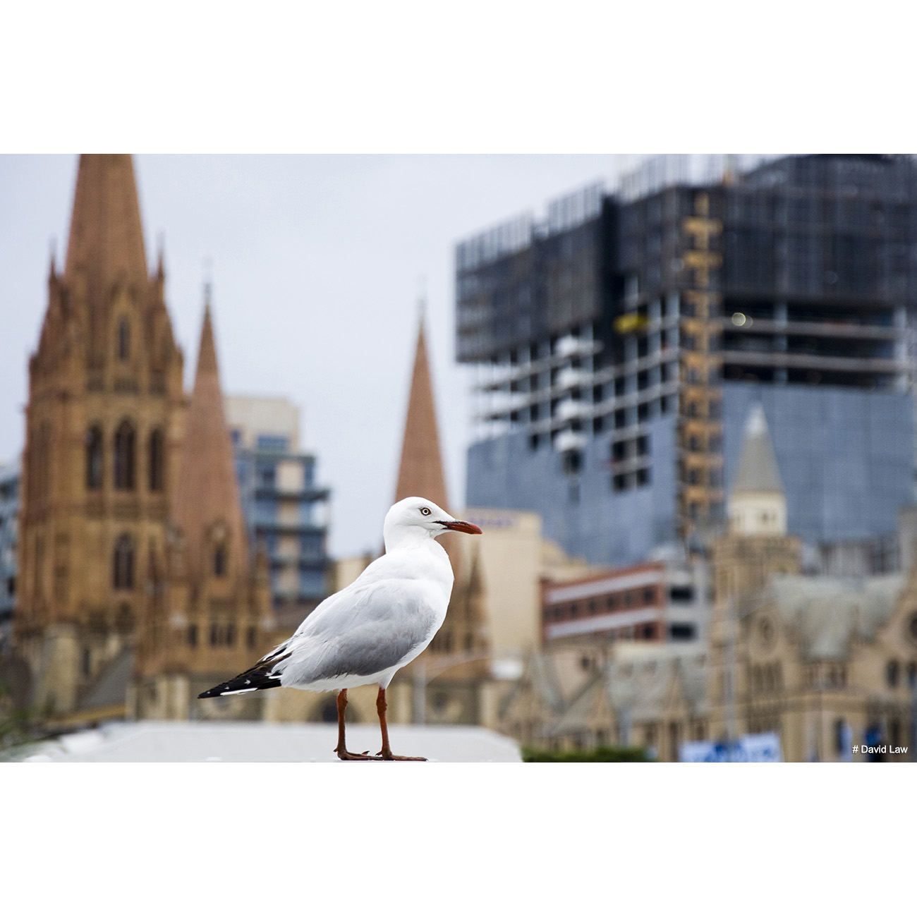 Seagul in Sydney copie