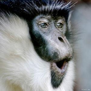 Surprise du Chimpanzé 1 30x30 1 copie