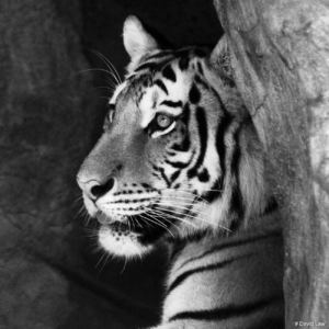 Tigre Nb copie