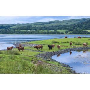 Vaches Ecossaises copie