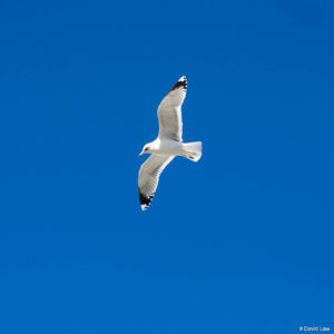 Vol de Mouette copie