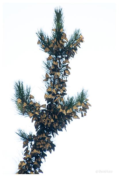 Butterfly Tree copie