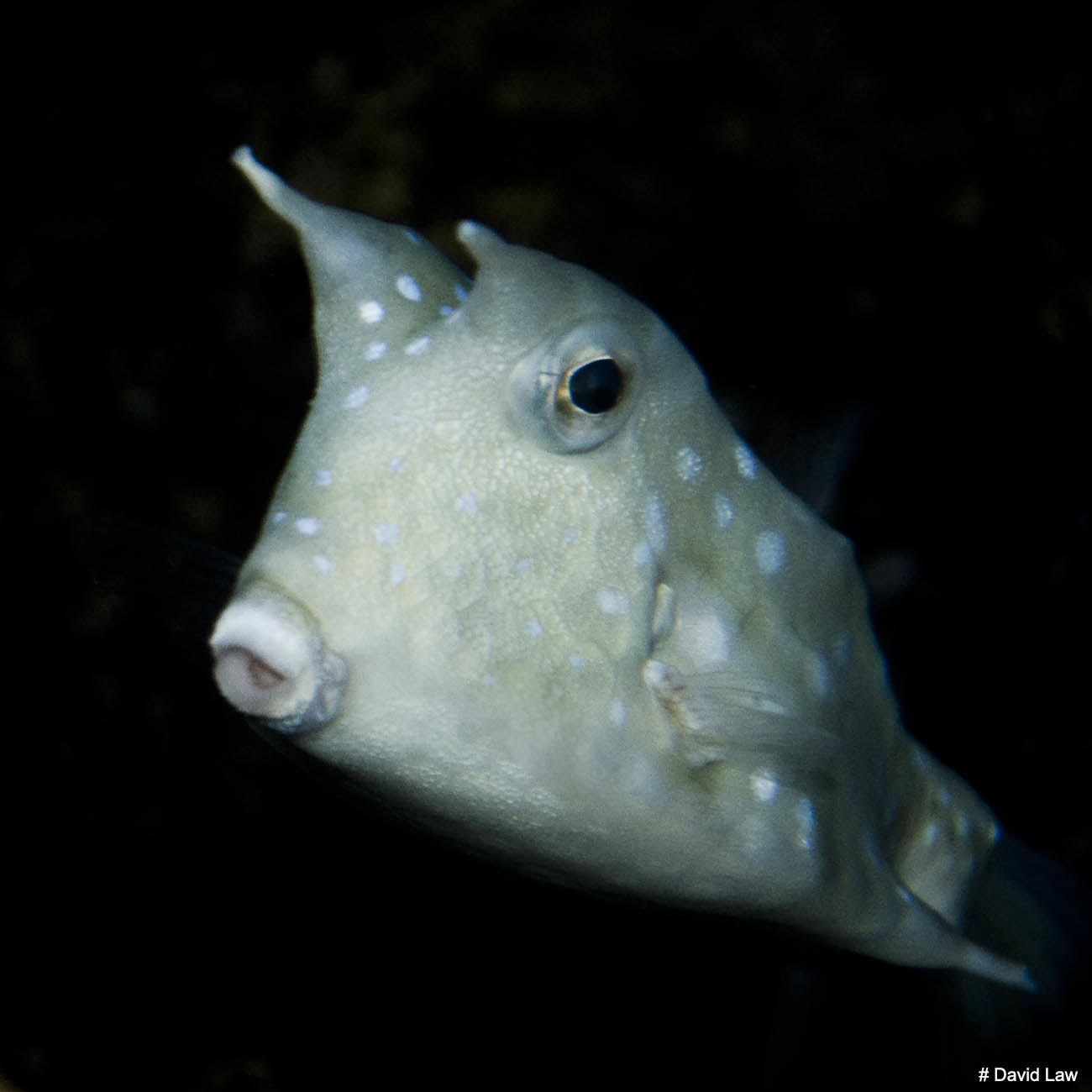 Cow Fish II Square wns s0220