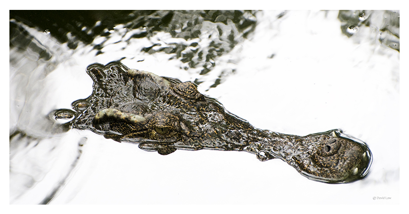 Crocodile II 40X80 copie 1