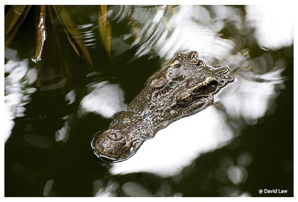 Crocodile copie