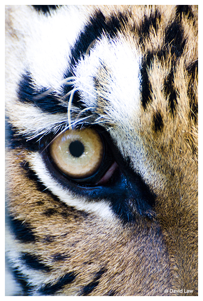 Eye Of The Tiger copie