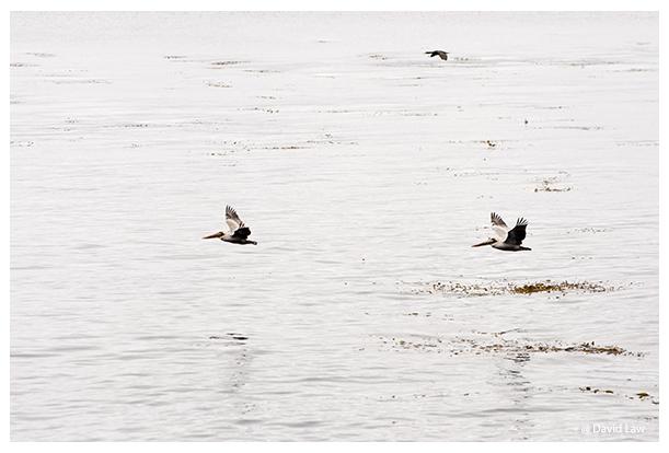 Flight Of Pelicans copie