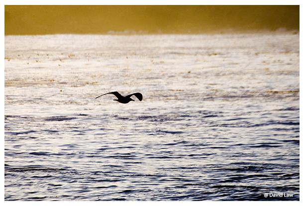 Flight of Seagull copie