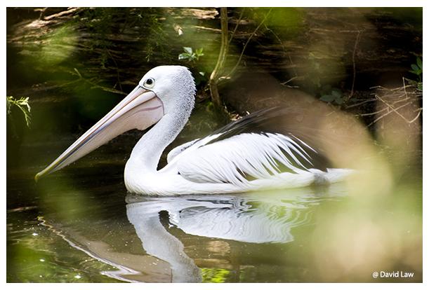 Floating Pelican copie
