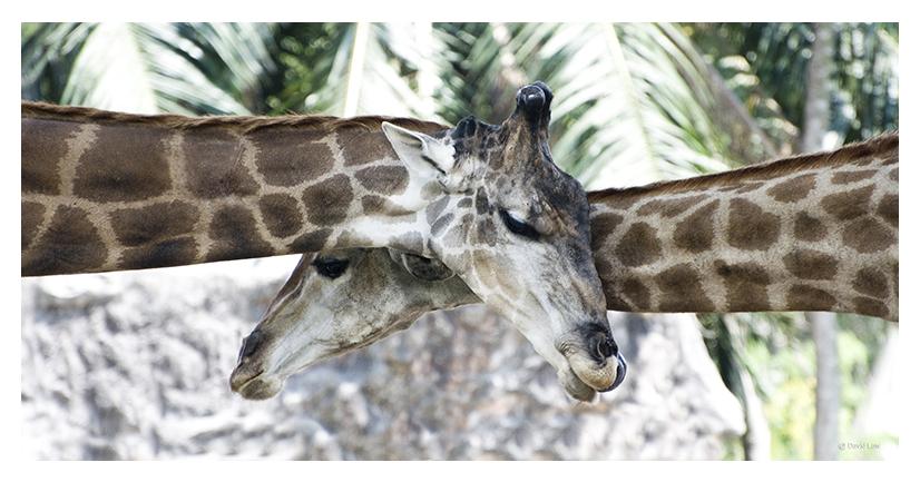 Giraffes 40X80 copie 1