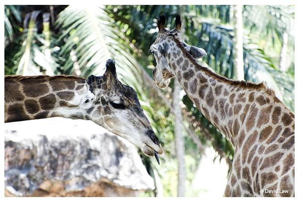 Giraffes II copie