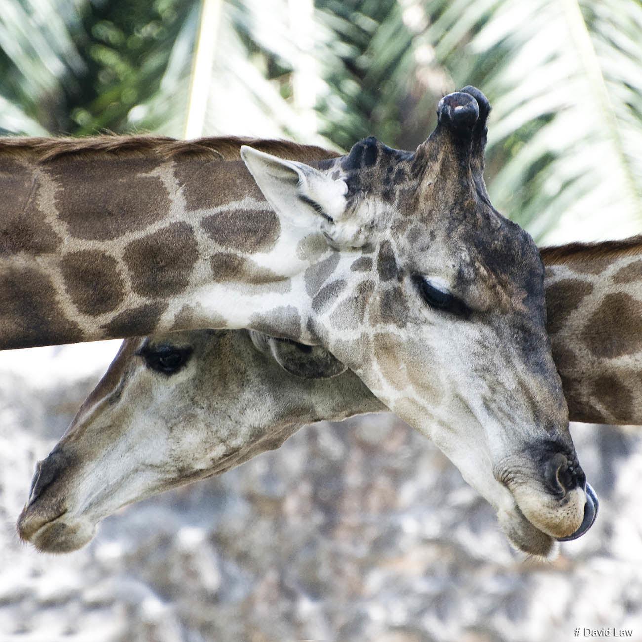 Giraffes Square wns s0220