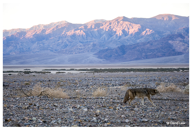 Hungry Coyote copie