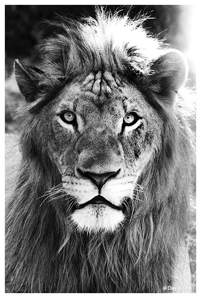 King Lion II copie