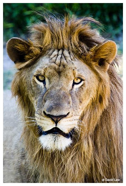 King Lion copie