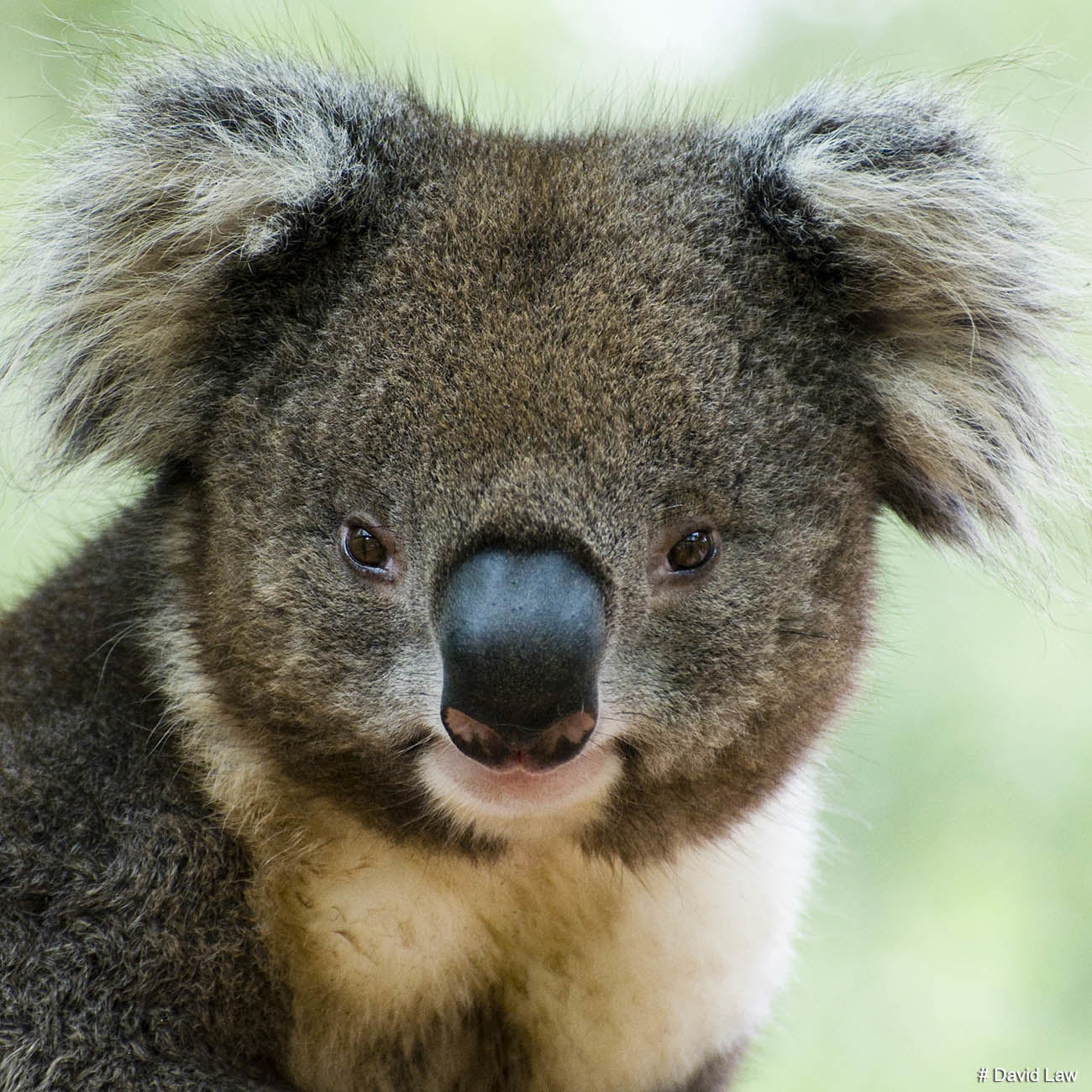 Koala II Square wns s0220
