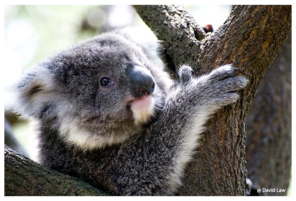 Koala copie