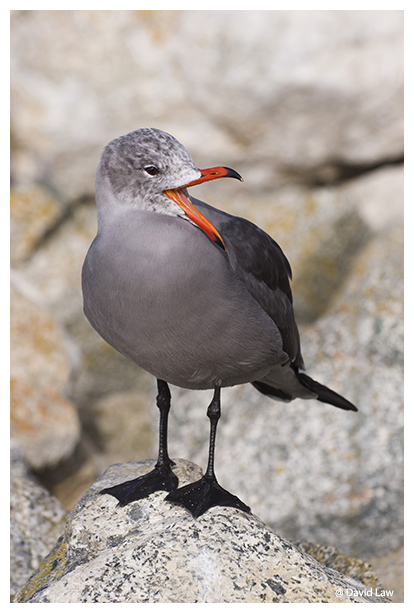 Laughing Seagull copie