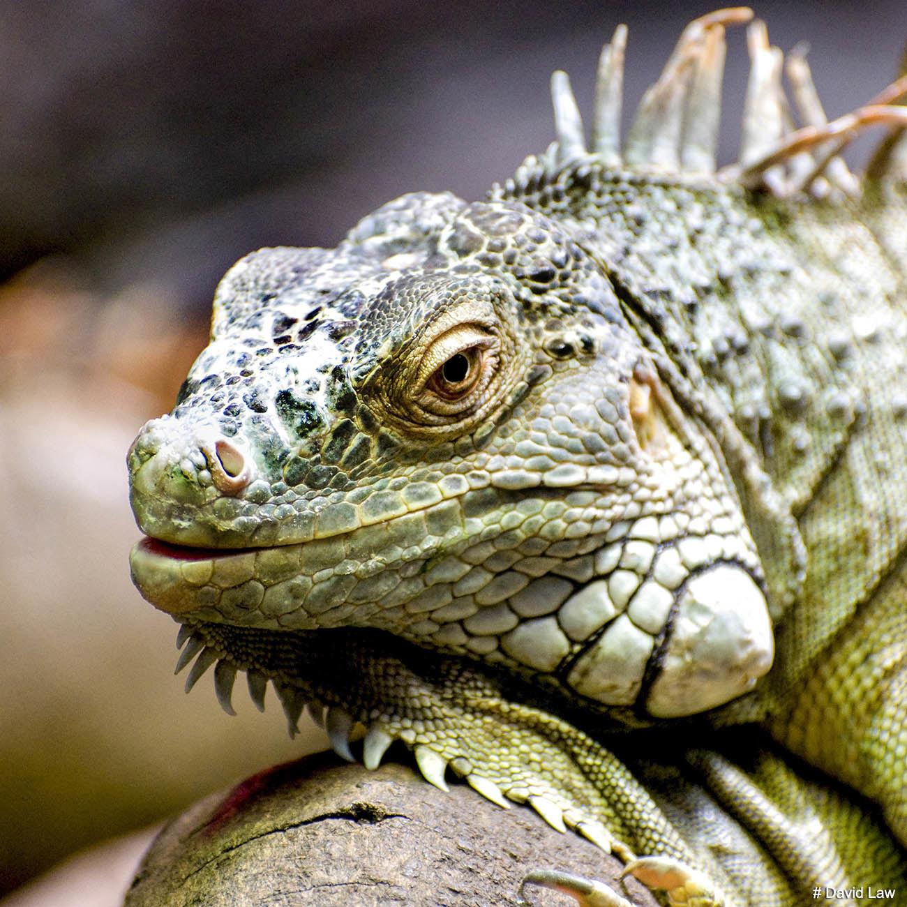 Lizard II Squarejpg wns s0220