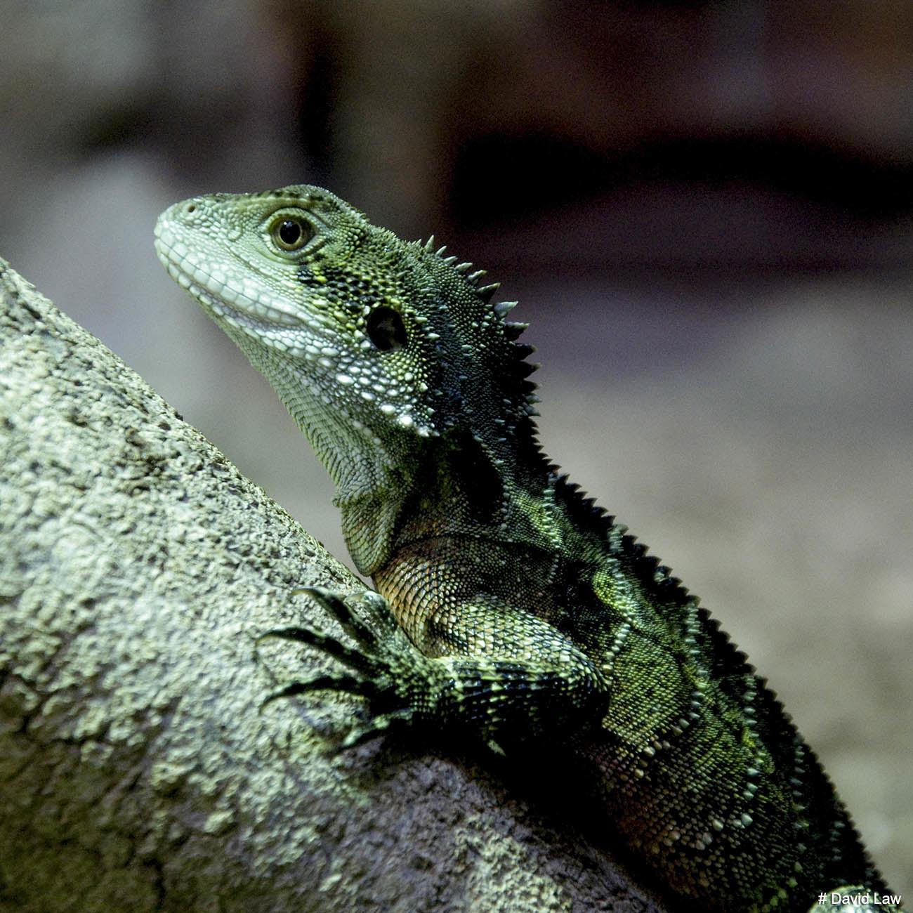Lizard Square wns s0220
