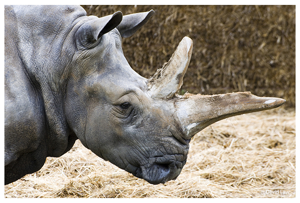 Old Rhino copie