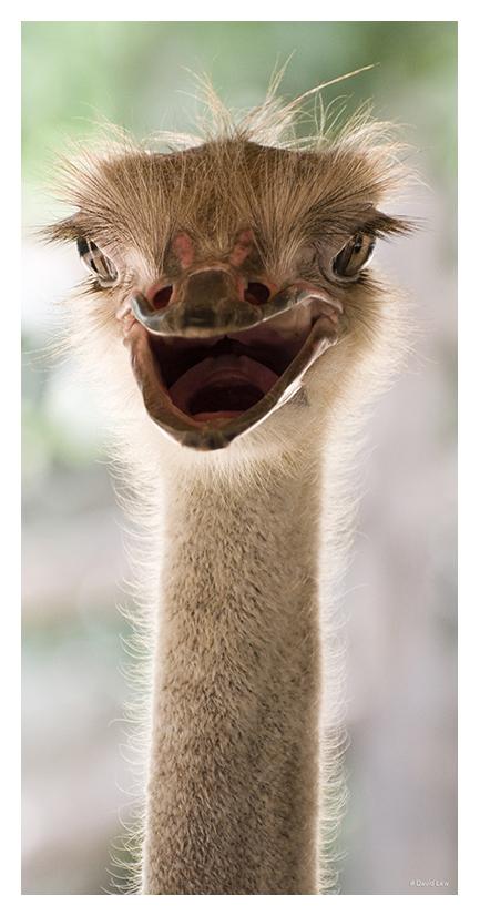 Ostrich 40x80 copie 1