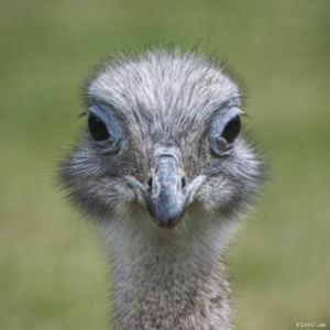 Ostrich II Square wns s0220
