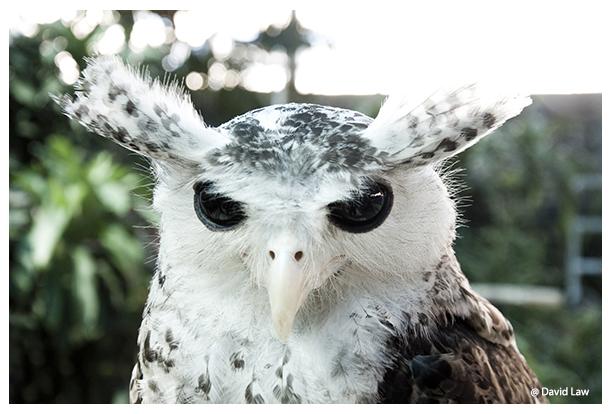 Owl III copie