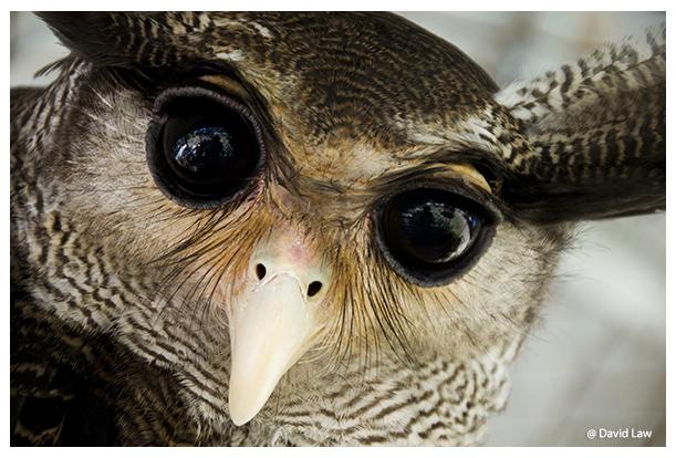 Owl IV copie