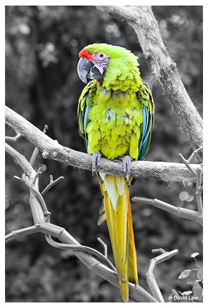 Parrot III copie