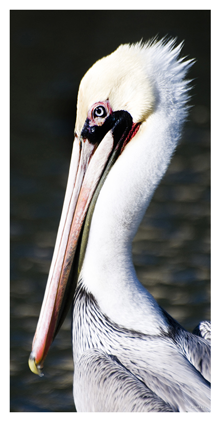 Pelican 40X80 copie 1
